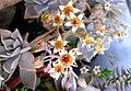 أزهار نبات أم اللآلئ.jpg