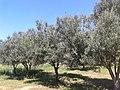 أشجار الزيتون بالجزائر - قرية النعايمية - مستغانم.jpg