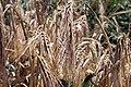 مزرعه گندم-Wheat field 01.jpg