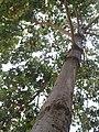 காட்டுப் பாதா மரம்1.jpg