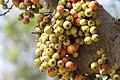 มะเดื่ออุทุมพร Ficus racemosa L (4).jpg