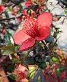 一品香海棠-蟠龍躍海 Chaenomeles speciosa 'Top Fragrance' -南京莫愁湖 Nanjing Mochou Lake, China- (33620339475).jpg