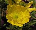 冰島虞美人 Papaver nudicaule Champagne Bubble -上海植物園 Shanghai Botanical Garden- (9216085602).jpg