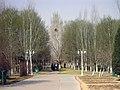城中绿化带之-白杨林 - panoramio.jpg