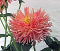 大麗花-仙人掌型 Dahlia variabilis 'Cactus' -香港花展 Hong Kong Flower Show- (24405876389).jpg