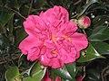 山茶花-重瓣 Camellia japonica -香港嘉道理農場 Kadoorie Farm, Hong Kong- (9219874819).jpg