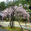 """弘川寺にて「隅屋桜」 """"Suya-zakura"""" at Hirokawa-dera 2012.4.13 - panoramio.jpg"""