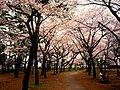 敷島の桜2010 - panoramio.jpg