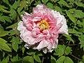 日本牡丹-阿房宮 Paeonia suffruticosa 'Grand Han Palace' -洛陽王城公園 Luoyang, China- (9198130855).jpg