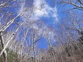 白樺の空(The sky of the white birch) - panoramio.jpg