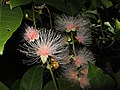 穗花棋盤腳 Barringtonia racemosa - panoramio (2).jpg
