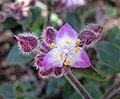 紫露草屬 Tradescantia cerinthoides -比利時國家植物園 Belgium National Botanic Garden- (9163794377).jpg