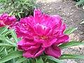 芍藥-紅艷露霜 Paeonia lactiflora 'Red Beauty with Frost' -北京景山公園 Jingshan Park, Beijing- (12403739165).jpg