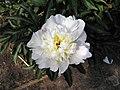 芍藥-胭脂點玉 Paeonia lactiflora -北京植物園 Beijing Botanical Garden, China- (12403737425).jpg
