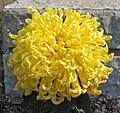 菊花-天女若松 Chrysanthemum morifolium -中山小欖菊花會 Xiaolan Chrysanthemum Show, China- (11961610184).jpg
