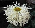 菊花-王飄帶 Chrysanthemum morifolium 'Royal Streamer' -香港雲泉仙館 Ping Che, Hong Kong- (12010228523).jpg
