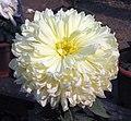 菊花-粉舞球 Chrysanthemum morifolium 'Pink Dancing Ball' -中山小欖菊花會 Xiaolan Chrysanthemum Show, China- (12026333655).jpg