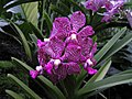 萬代蘭 Vanda Manisaki -新加坡 Mandai Orchid Gardens, Singapore- (9198099809).jpg