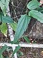 跳舞女郎 Thunbergia mysorensis 20200307185911 10.jpg