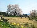醍醐桜 西側から.jpg