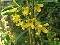 金鐘花 Forsythia viridissima -鄭州紫荊山公園 Zhengzhou, China- (9216111684).jpg