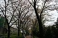 陶彩の道の桜のトンネル - panoramio.jpg