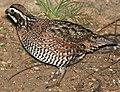 071 - NORTHERN BOBWHITE (1-15-09) falcon lake st park, tx (4) (8718703845) (cropped).jpg