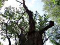 090716 - Mieszko Oak - 04.jpg