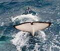 091201 south georgia orca 5132 (4172633407).jpg
