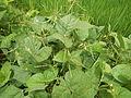 09438jfFranza Halls Vigna radiata Plants Science Munoz Ecijafvf 17.JPG