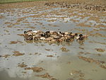 09461jfRoads Paddy fields Domesticated ducks Paligui Candaba Pampangafvf 15.JPG