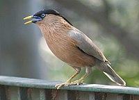 1172ww brahminy-myna delhi-crpark 2007apr14