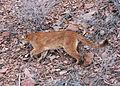 1442 cougar wolfer odfw (14773986976).jpg