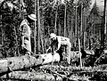 1959. G. Fagerness (left) and L. Pettinger taking sample measurements on windthrown second-growth exposed Douglas-fir. McDonald Tree Farm, Washington. (34167910802).jpg
