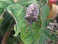 1 - Pentatoma rufipes 9 - Putney Heath Common 2011.08.02.jpg