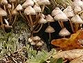 20021026 Zwart Water Paddestoel - Mycena inclinata (9928856385).jpg