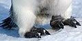 2007 Snow-Hill-Island Luyten-De-Hauwere-Emperor-Penguin-20.jpg