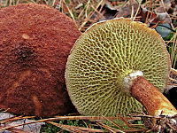 2011-10-26 Suillus cavipes (Opatowski) Smith & Thiers 177547 crop.jpg