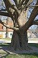 2012-03-17 ND Ginkgo Schloss Goseck Stamm.jpg