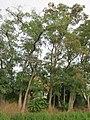 20120921Robinia pseudoacacia3.jpg