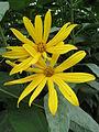 20130827Helianthus tuberosus1.jpg