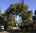 2014-08-30 08 30 46 American Sycamore along Terrace Boulevard near Durham Avenue in Ewing, New Jersey.JPG