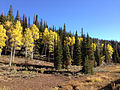 2014-10-04 16 40 47 View of Aspens during autumn leaf coloration and Subalpine Firs from Charleston-Jarbidge Road (Elko County Route 748) in Bear Creek Valley about 16.0 miles north of Charleston, Nevada.JPG