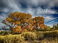 2014-365-290 Glowing Cottonwoods (15537631586).jpg