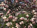 2015-04-12 17 17 15 Saucer Magnolia blossoms on Princeton Avenue in Lawrence, New Jersey.jpg