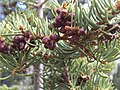 2015-04-30 15 55 30 Fir boughs and developing pollen cones along the Trail Canyon Trail in the Mount Charleston Wilderness, Nevada about 2.0 miles north of the trailhead.jpg