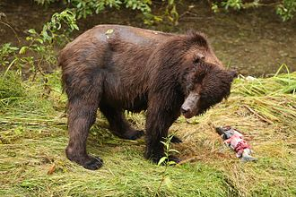 Hyder, Alaska - Grizzly Bear at Fish Creek
