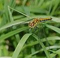 2015.07.07.-25-Mulde Eilenburg--Schwarze Heidelibelle-Weibchen.jpg