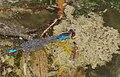 2015.08.01.-03-Baggersee-Bruehl--Kleines Granatauge-Maennchen.jpg