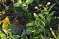 20151101 021 Kessel Weerdbeemden Moerasvergeet-me-nietje Myosotis scorpioides subsp. scorpioides (22685924701).jpg